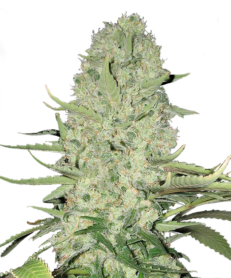 white widow feminised seeds bulk seeds